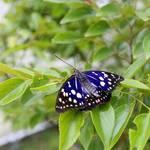 東京・日の出町 | 国蝶 オオムラサキを見に行こう!