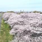【中止】東京・狛江│4/5 (日)開催! 春の多摩川を楽しむ『こまえ桜まつり』