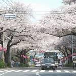 東京・新井薬師│4/3(金)~5(日)開催! 第34回中野通り桜まつり