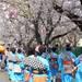【中止】川崎市麻生区|3/22(日)~4/5(日) 『麻生川桜まつり』
