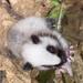 【神戸どうぶつ王国】さんからのお知らせです ~ウスイロホソオクモネズミの赤ちゃん~