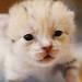 【神戸どうぶつ王国】さんからのお知らせです 神戸どうぶつ王国に待望のスナネコの赤ちゃんが生まれました!