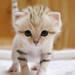 【神戸どうぶつ王国】さんからのお知らせです 公開決定!砂漠の天使「スナネコ」赤ちゃん遂にデビュー!