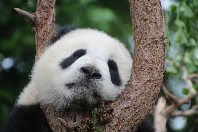 Free photo: Panda, Panda Bear, Sleep, Rest - Free Image on Pixabay - 1236875 (15665)