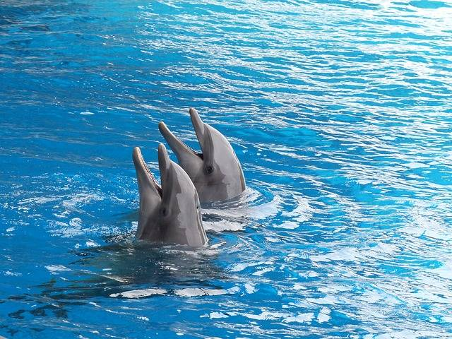 Free photo: Dolphin, Dolphins, Cetacean - Free Image on Pixabay - 2687078 (16247)