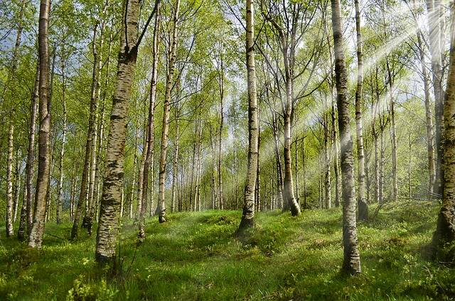 Free photo: Forest, Birch, Spring, Sunbeam - Free Image on Pixabay - 2165356 (16547)